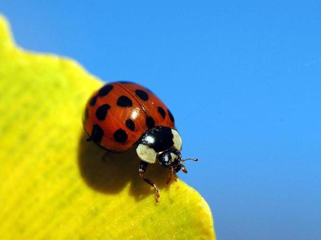 Wie ein Marienkäfer einen Bodybuilder beinahe das Leben kostete