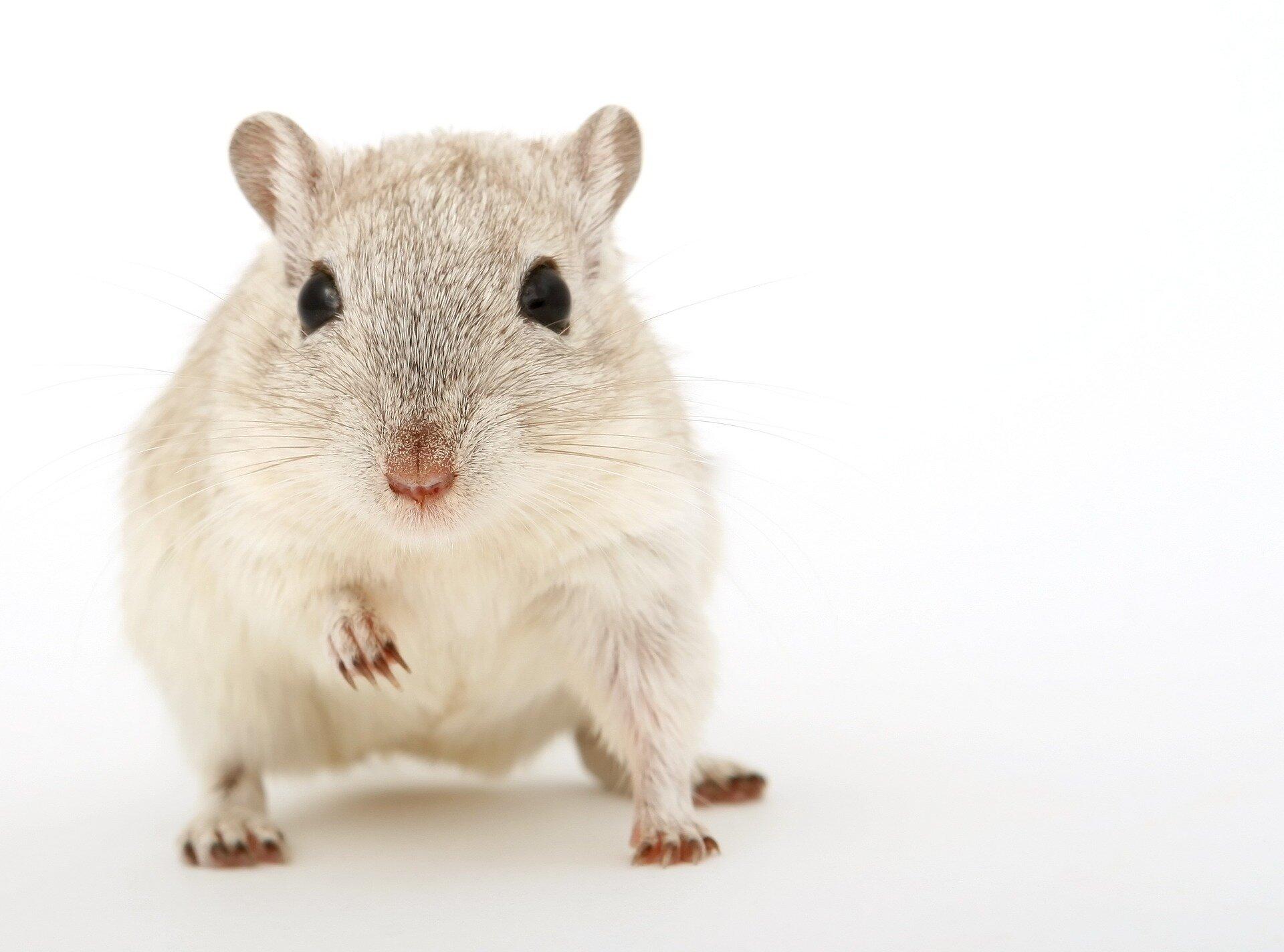 Mäuse mit einem menschlichen Immunsystem helfen, die Forschung zu Krebs und Infektionen
