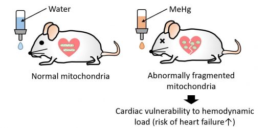 Methylquecksilber fällt Herzinsuffizienz durch die zunehmende Drp1-vermittelten mitochondrialen fission