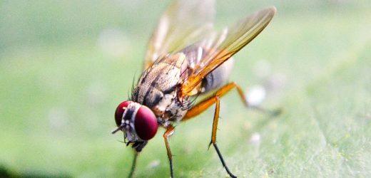 Fruchtfliegen finden Ihren Weg durch Einstellung der Navigations-Ziele