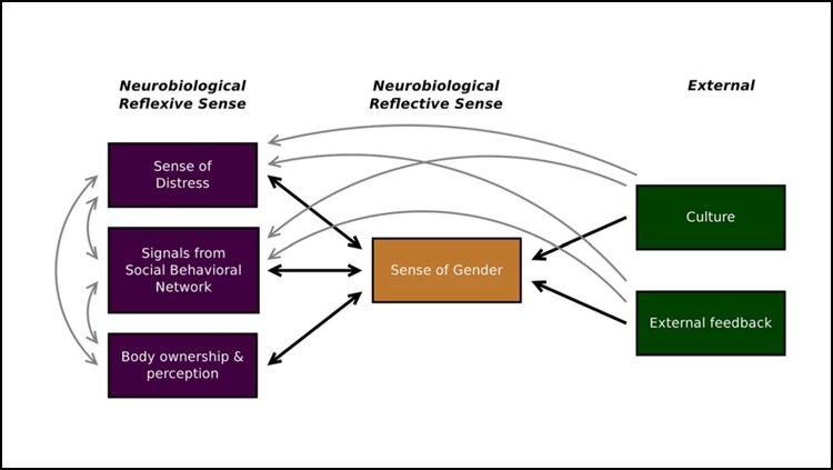 Die neurobiologische Grundlage von gender-Dysphorie