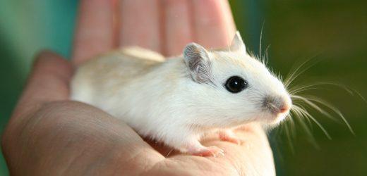 """Wissenschaftler schaffen """"epigenetische couch-potato"""" – Maus"""