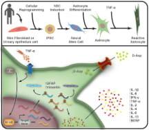 Neue Studie beschreibt neuronale entzündliche Prozesse im Labor entwickelte menschliche Zellen