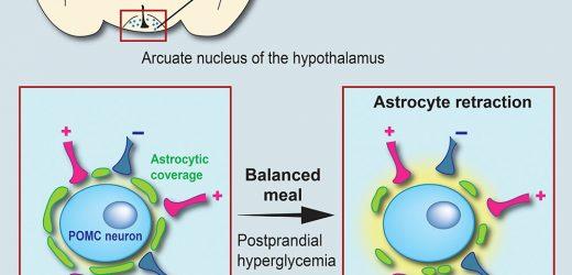 Der Ursprung der Sättigung: Gehirn Zellen, die Ihre Form verändern nach einer Mahlzeit