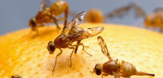 Frucht Fliegen-Studie zeigt Verbindung zwischen dem Darm und der Tod durch Schlafentzug