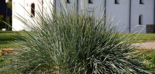 Ernährung: Erstes mehrjähriges Getreide – Rettung für Landwirtschaft und Umwelt? – Naturheilkunde & Naturheilverfahren Fachportal