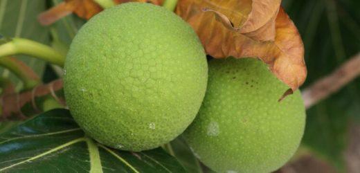 Ernährung: Brotfrucht neues Superfood? – Naturheilkunde & Naturheilverfahren Fachportal