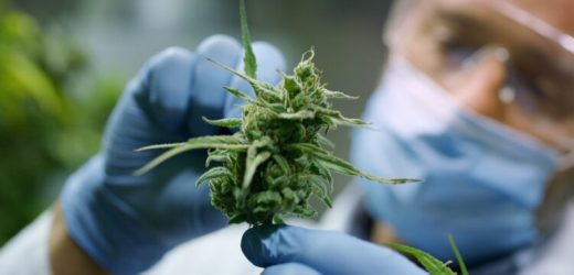 Cannabis gegen Darmentzündungen und zur Darmkrebsprävention? – Naturheilkunde & Naturheilverfahren Fachportal