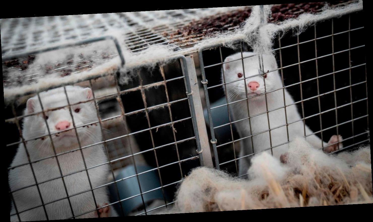 Wegen Virus-Mutation: Finnland entwickelt Corona-Impfstoff für Pelztiere