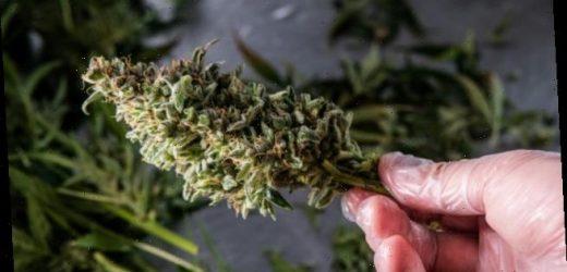 "Glaeske: ""Cannabis ist kein Wundermittel!"""